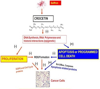 Crocetin – DNA - skin tumor – antitumorigenic - Pancreatic cancer - Lung cancer - Liver cancer – Leukemia - colorectal cancer - Cervical cancer - Breast cancer – pharmacological – picrocrocein -  safranal – crocin - aglycon crocetin – Cancer